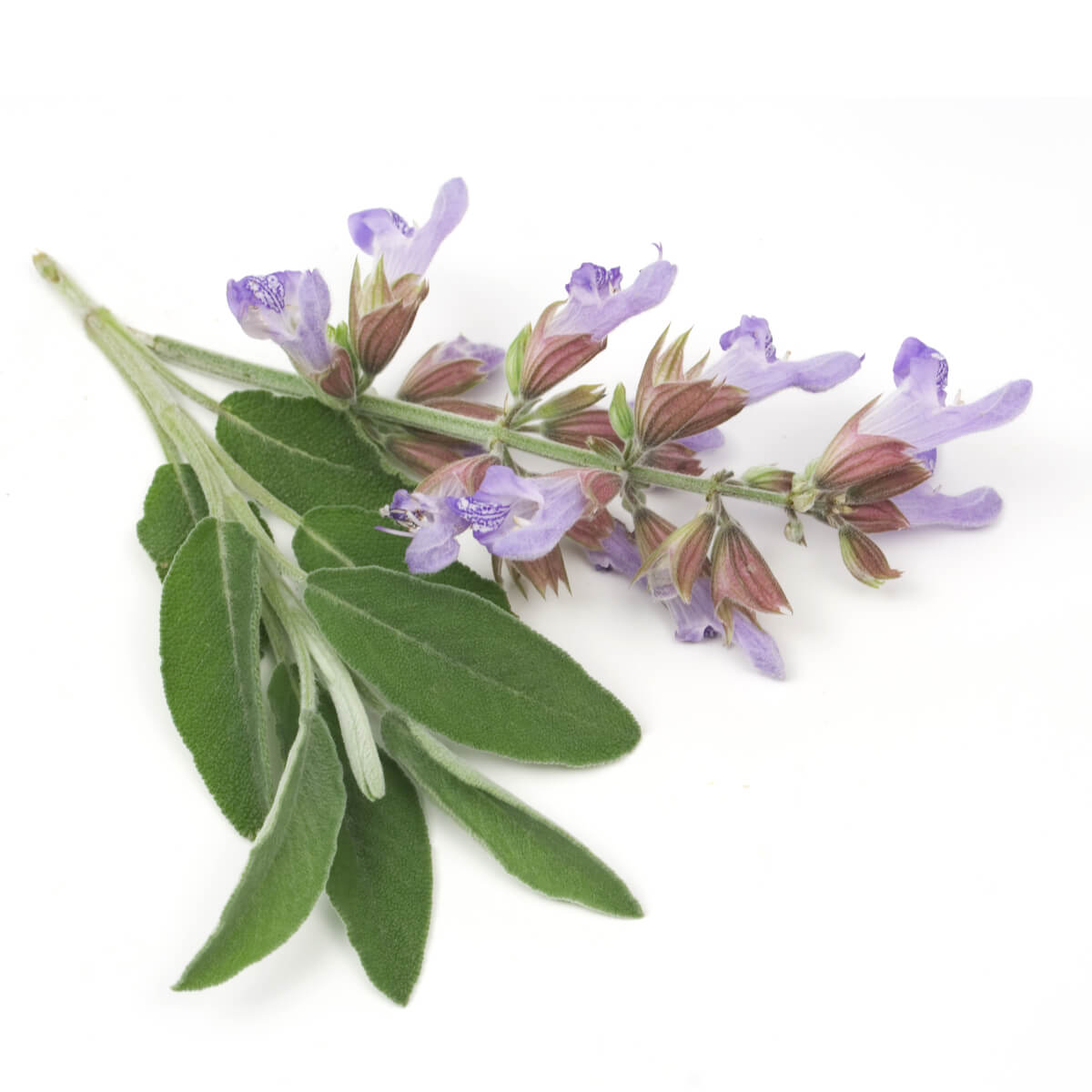 Sage leaves and flowers